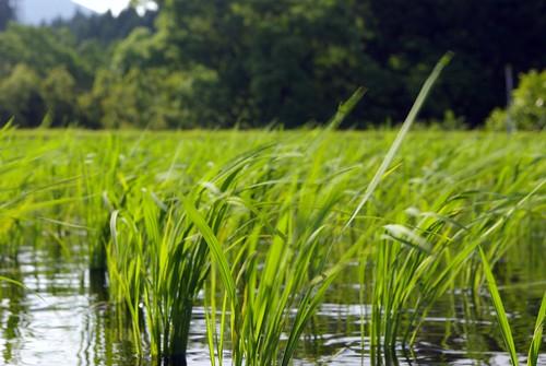 稲風に揺れる - 無料写真検索fotoq