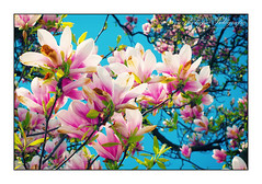 Don't Steal Magnolias