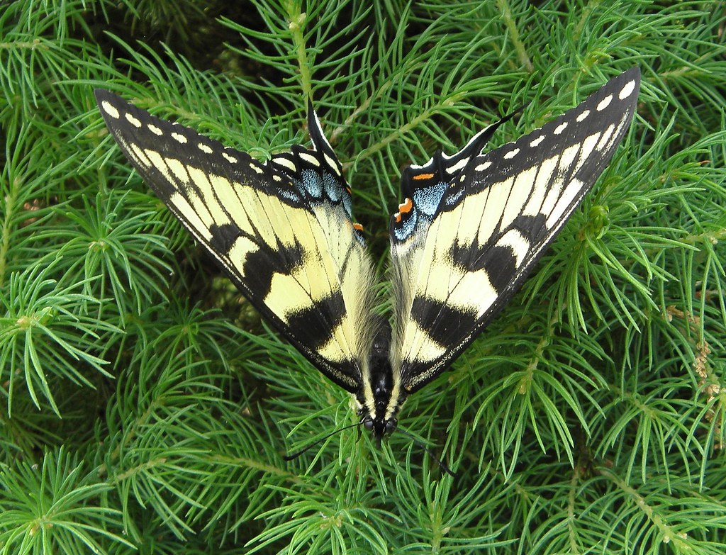 Eastern Yellow Tiger Swallowtail