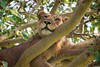 Lioness taking a nap in a tree