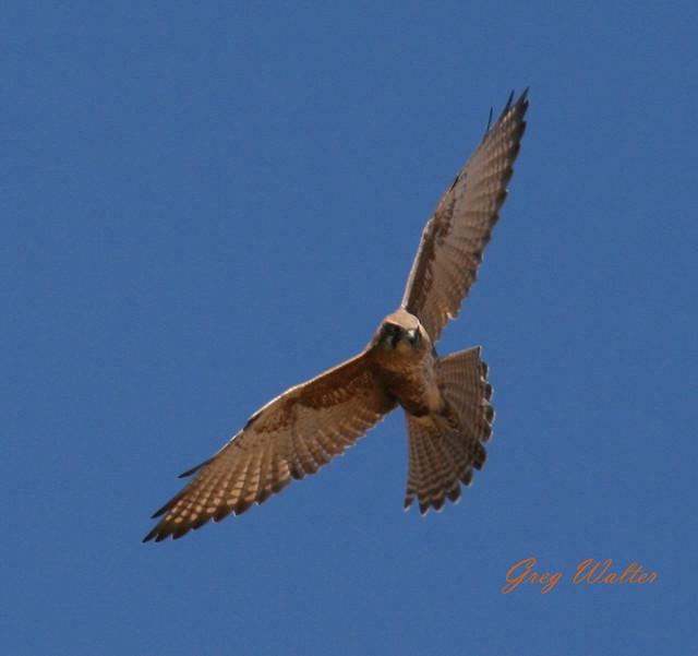 Flying Falcon | Flickr - Photo Sharing!