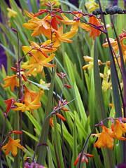 CROCOSMIA x crocosmiiflora 'Eastern Promise'