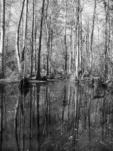 blackandwhite swamp floridaswamp floridanationalscenictrail