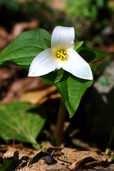 trillium flower in our backyard    MG 0220