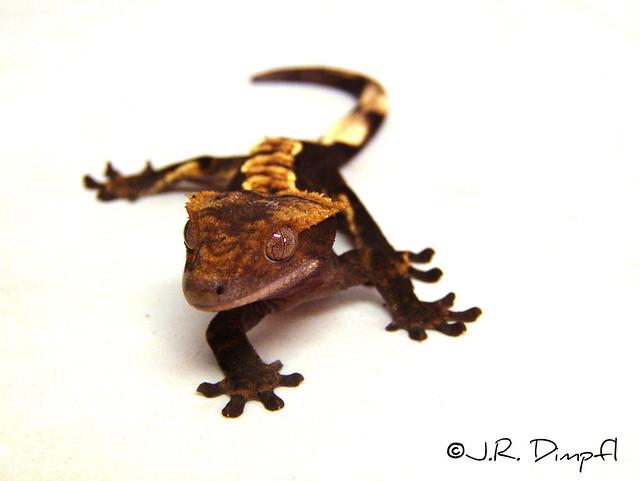 ron tremper new book leopard geckos the next generations pdf