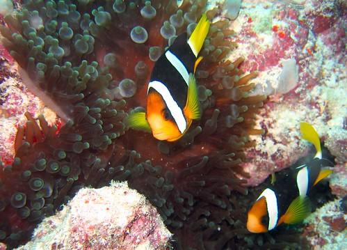 Clarkii Anemonefish