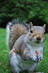 DSC_0615 Grey Squirrel Eating a Nut in the Royal Botanic Garden Edinburgh