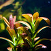 Rotala sp. Sunset