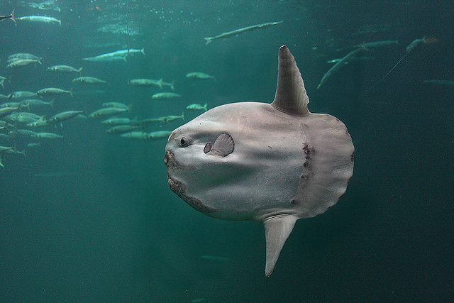 Fish favorites a gallery on flickr for The mola mola fish