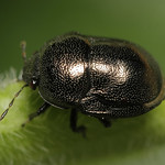 fémes földipoloska - Thyreocoris scarabaeoides