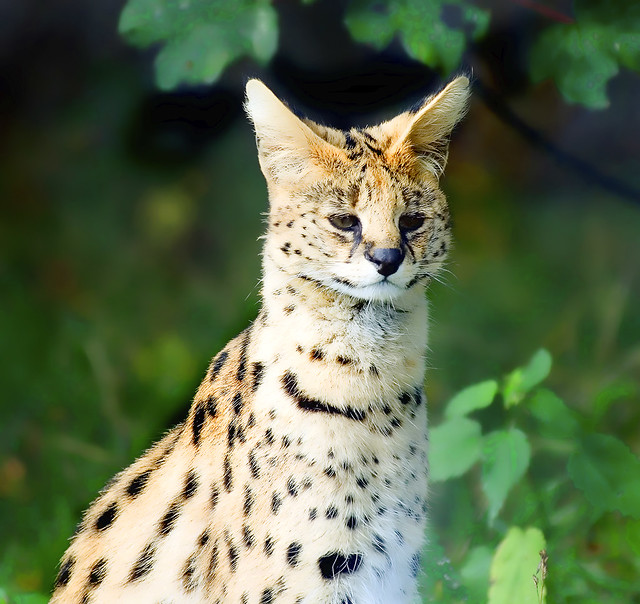 The Beautiful Serval