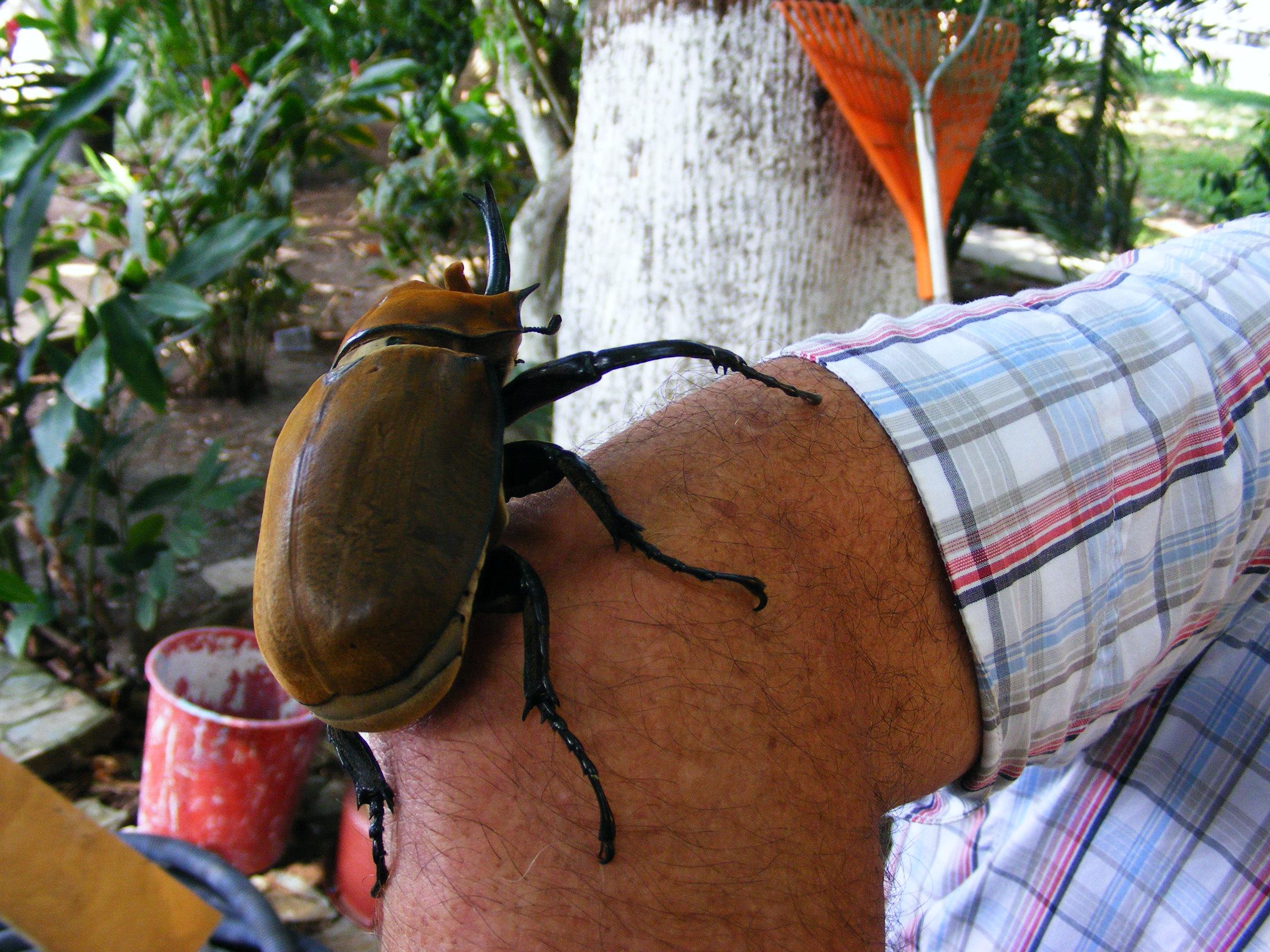 Escarabajo Elefante (Megasoma elephas) · NaturaLista