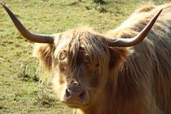 Highland cattle (vache des Highlands)
