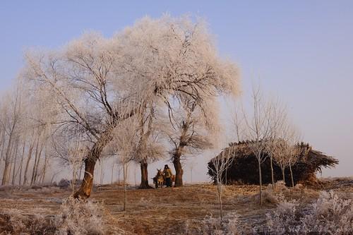 house tree pine sunrise bluesky frosty jilin 吉林 wushongisland 雾从岛