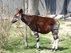 Okapi - Photo (c) jinjian liang, some rights reserved (CC BY-ND)