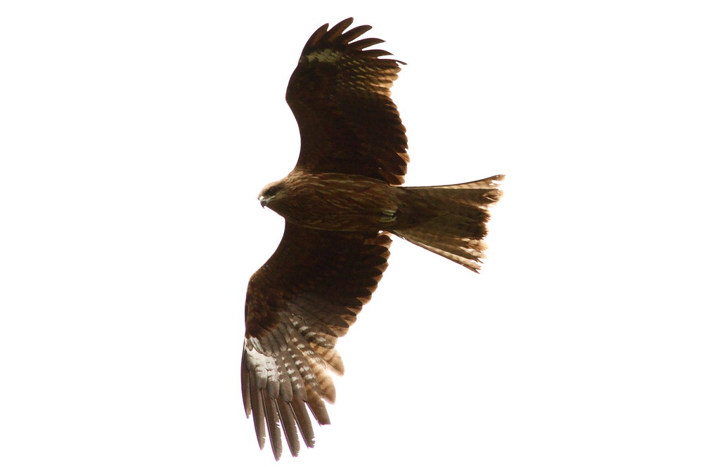 A Japanese Bird Of Prey In Flight