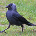 Eurasian Jackdaw - Photo (c) David Merrett, some rights reserved (CC BY)