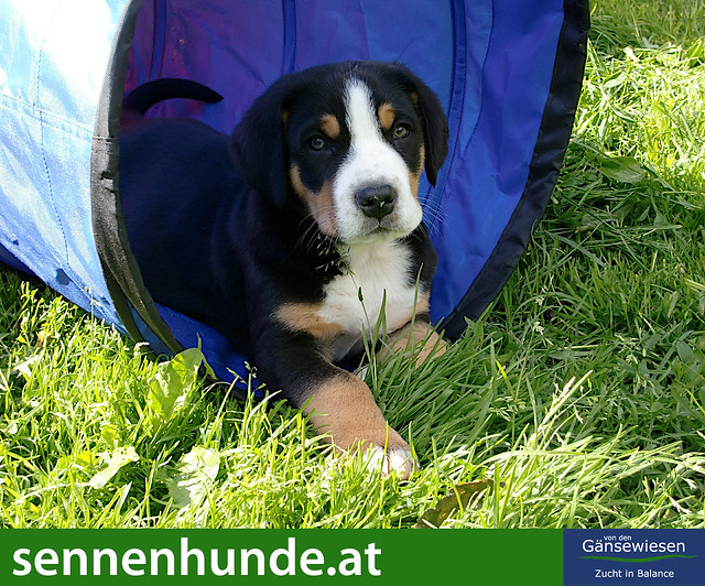 Entlebucher Show Dog Requirements