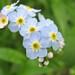 Boraginaceae 紫草科