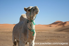 Dromedário nas dunas de Erg Chebbi em Marrocos