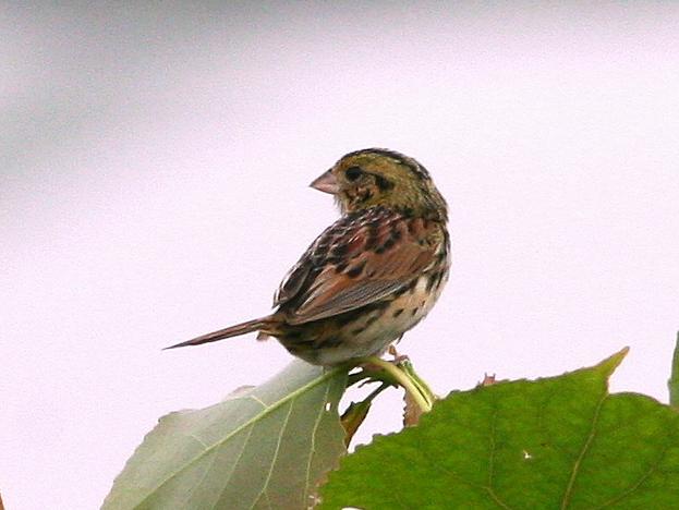 Henslows Sparrow 6-20090618