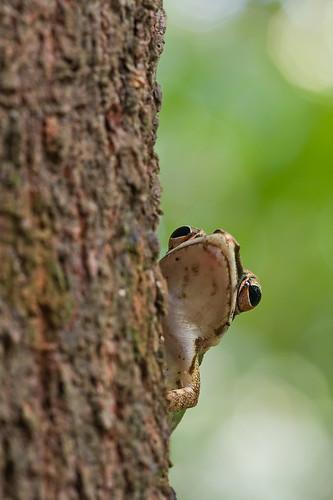 Poison Rock Frog, <i>Odorrana hossi </i>IMG_7899 copy
