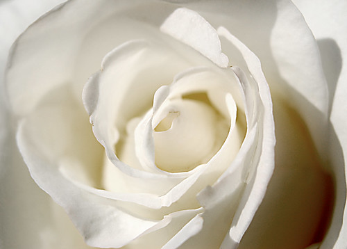 flower macro rose