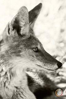 Portrait of a Black-Back Jackal