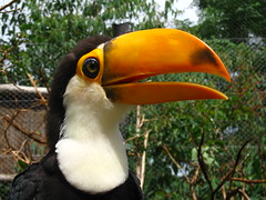 king penguin(0.0), coraciiformes(0.0), wildlife(0.0), animal(1.0), hornbill(1.0), toucan(1.0), fauna(1.0), close-up(1.0), beak(1.0), bird(1.0),