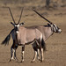 Double-headed Oryx ;)