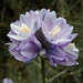 Dichelostemma - Photo (c) Mike Baird, some rights reserved (CC BY)