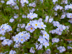 flower, plant, herb, wildflower, flora, forget-me-not, meadow,