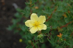 annual plant, flower, yellow, plant, macro photography, flora, evening primrose, petal,