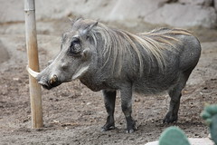 domestic pig(0.0), pig(0.0), outdoor recreation(0.0), animal(1.0), zoo(1.0), horn(1.0), fauna(1.0), pig-like mammal(1.0), warthog(1.0), wildlife(1.0),