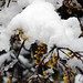 Buds under the newcome springtime snow