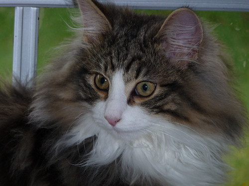 Ragnar the Norwegian Forest Cat