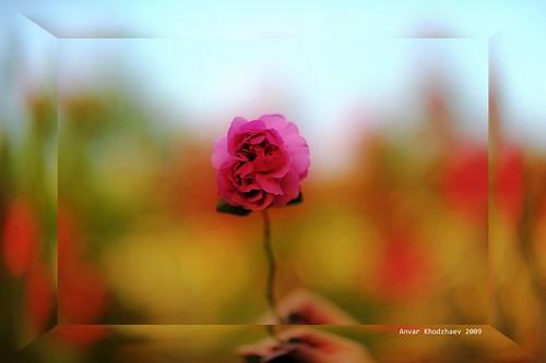 pink fab flower beauty spring nikon texas searchthebest bokeh houston 200views soe ih russiantexan supershot inspiredbylove flowerrose outstandingshots 100comments bej bokehlicious abigfave impressedbeauty d700 anvarkhodzhaev russiantexas svetan svetanphotography