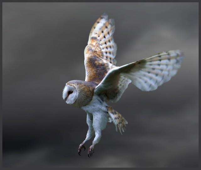 Barn owl makes a strike (tyto alba)