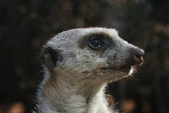 animal, snout, mammal, fauna, close-up, whiskers, meerkat, wildlife,