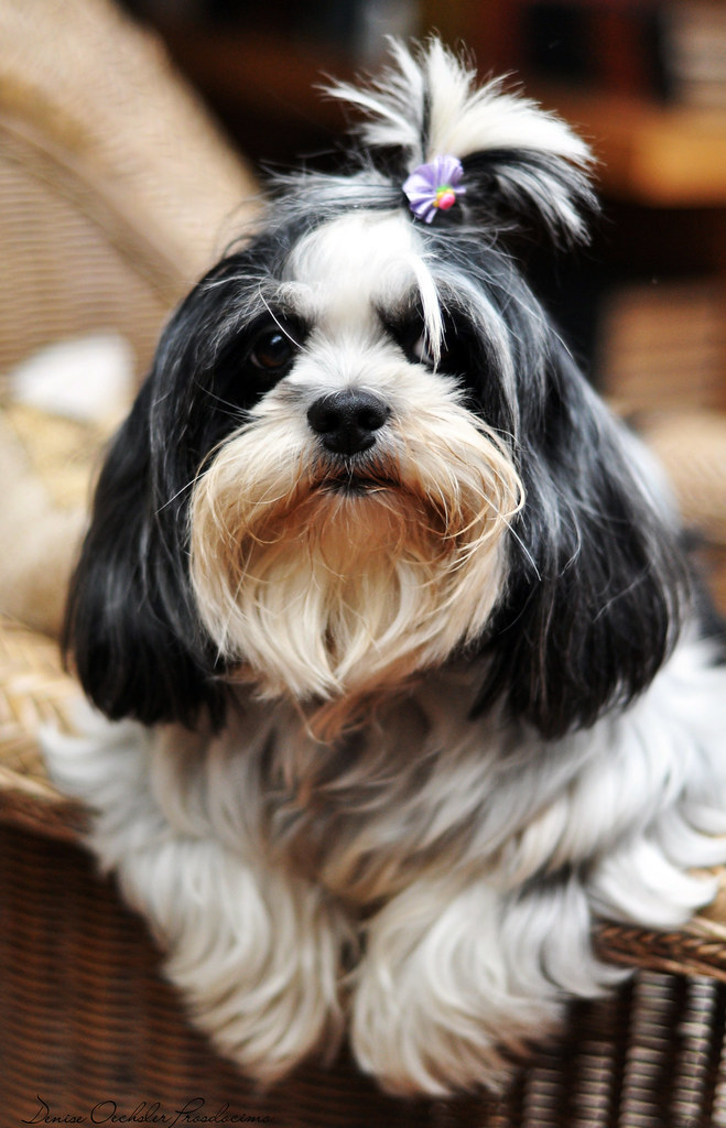 Cher, the Lhasa Apso
