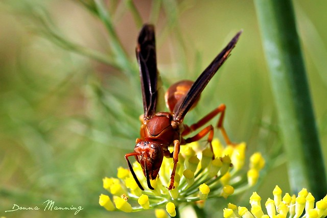 Red wasp stinger