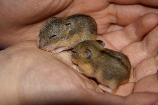 Baby dwarf hamsters | Flickr - Photo Sharing!
