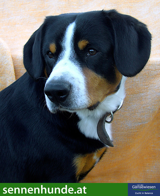Entlebucher Mountain Dog Rescue