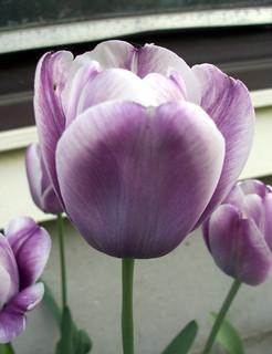 Tulips_51509b