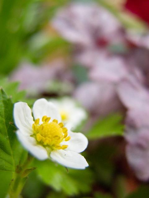 Photo:Wild Strawberry ~ワイルド・ストロベリー~ By suneko