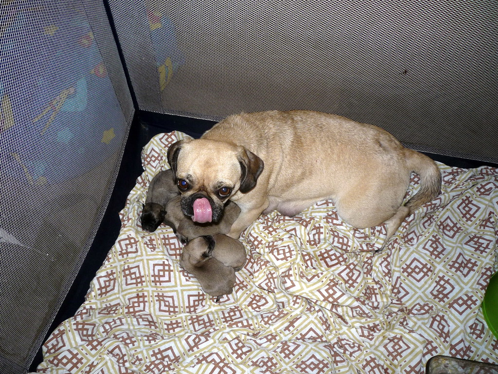 bdc4aa19bb9 Baby Pug 2 Flickr Photo Sharing - ViewLetter.CO