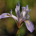 Bowltube Iris - Photo (c) birdgal5, some rights reserved (CC BY-NC-ND)