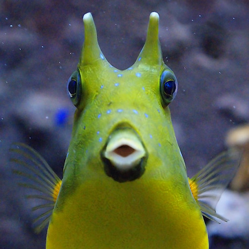 longhorn cowfish photo7