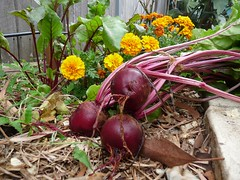First beetroot!