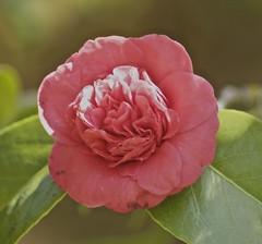 camellia, flower, plant, pink, petal,